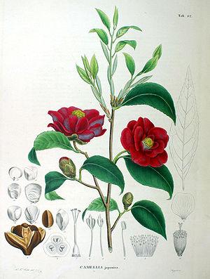 300px-Camellia_japonica_SZ82