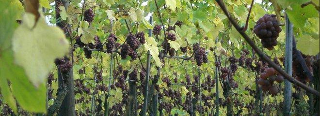 Warum nicht einmal belgischer Wein?