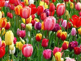 Tulpenrausch und Tulpenwahn